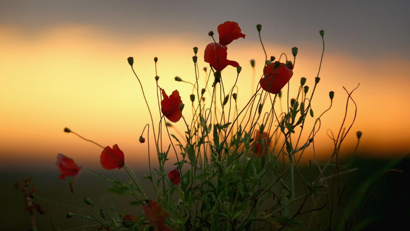 """What Are the Words to the Poem """"In Flanders Field"""" by John McCrae?"""