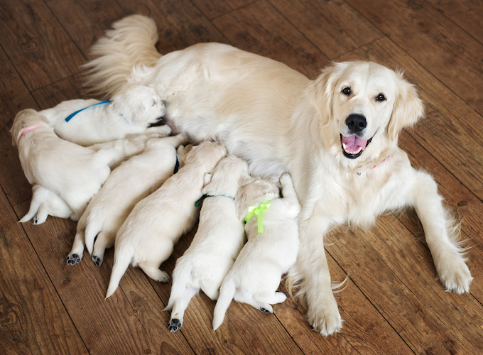 What You Should Give To Feed Dog After Giving Birth – 3 Tips for You