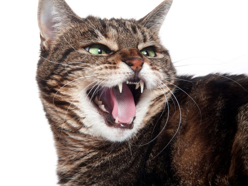 9 Early Symptoms of Rabies In Cats (must know!)