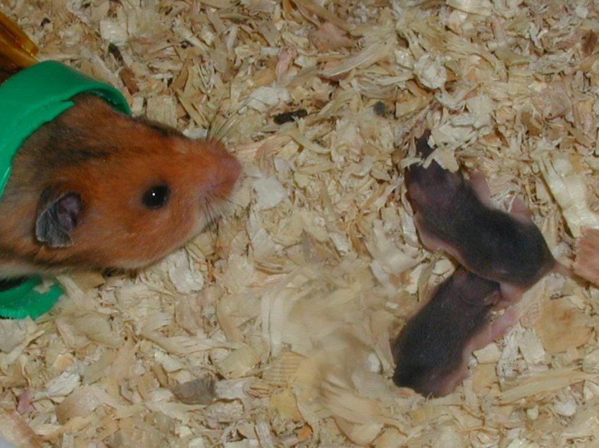 2 Easy Ways to Care for Mother Hamster With Its Babies