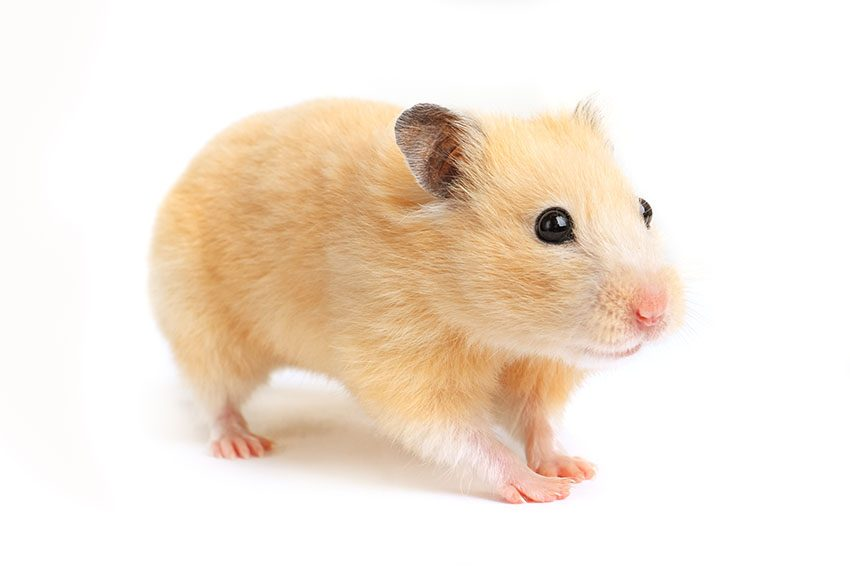 How To Take Care Of Hamster At Home For Beginners