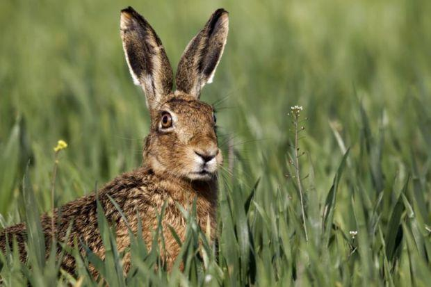 7 Difference of Domestic and Wild rabbit (Hare)