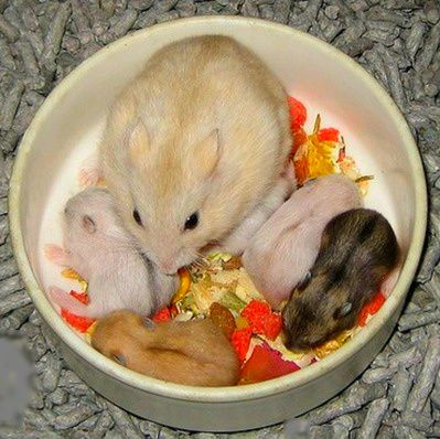 How To Take Care A Mommy Hamster After Giving Birth