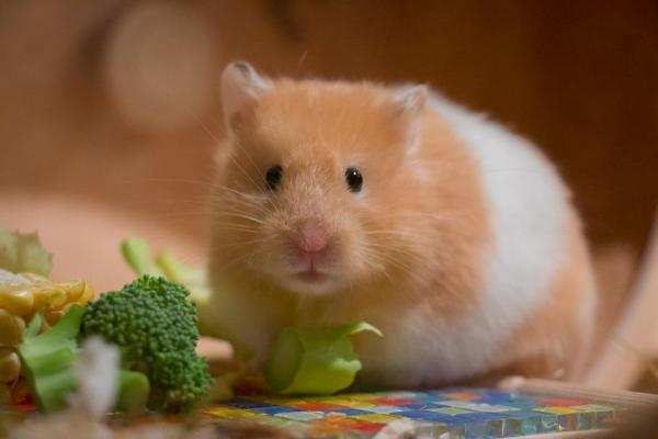 9 Common Symptoms that Your Hamster is Pregnant