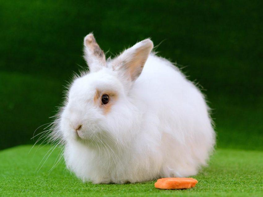 How To Treat Hair Loss Of Angora Rabbit