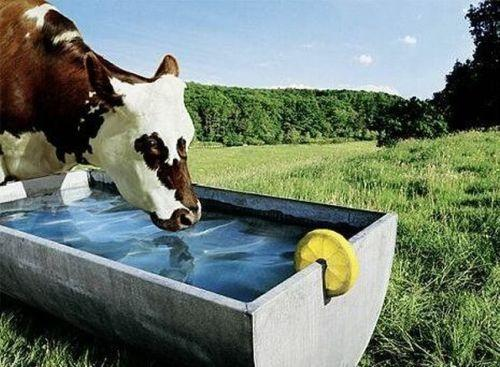 3 Guides to Make Your Cow Drinking Enough Water