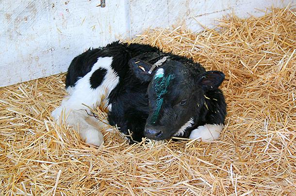 3 Proper Ways to Take Care of a New Calf for Beginners