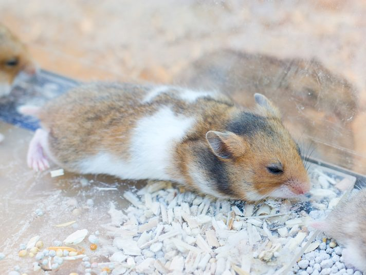 8 Common Symptoms That Your Hamster Is Sick