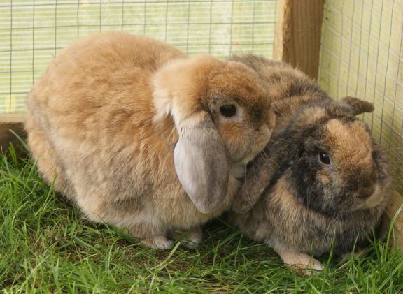 How to bonding 2 rabbits together in your house