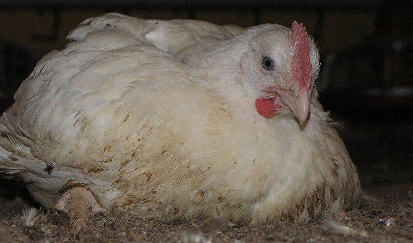 8 Common Disease of Broiler Chicken