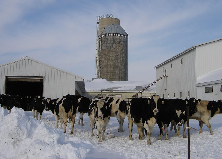 How to Take Care of Dairy Cow During Winter