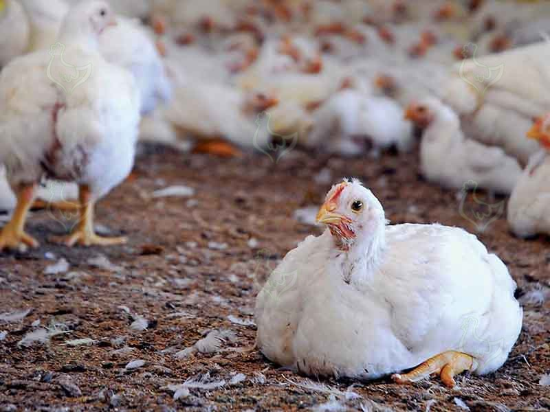 4 Causes of Lameness in Broiler Chicken