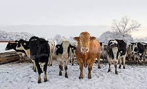 7 Guides to Feed Cattle During Winter Time