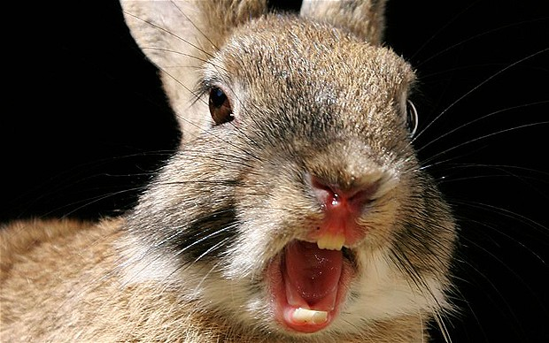 10 Aggressive Behavior Of Rabbit You Should Know