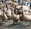 8 Ways How To Prevent Bird Flu in Duck