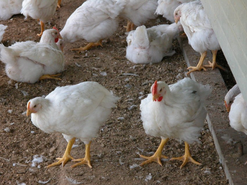 6 Effective Tips For Beginners On Raising Broiler Chickens