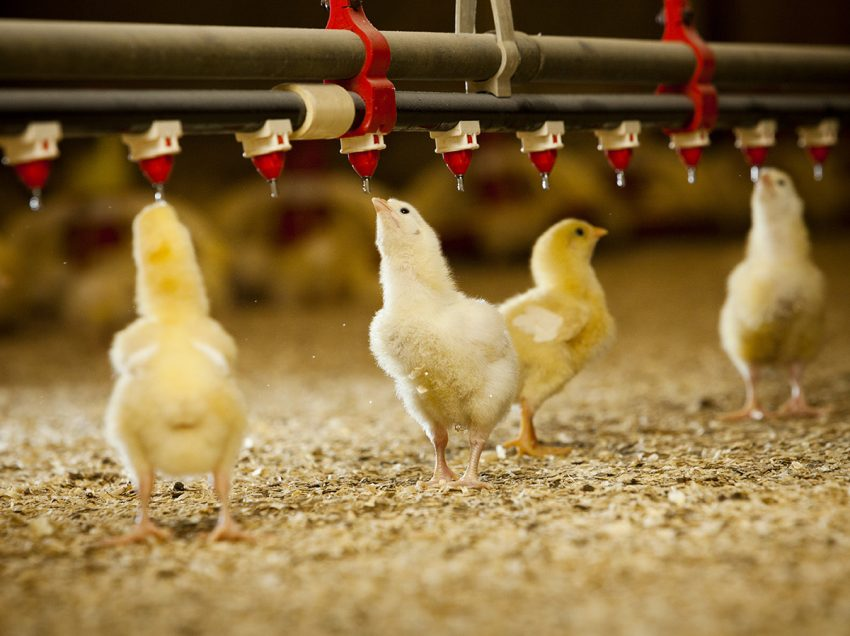 How to Easily Raise Broiler Chicks