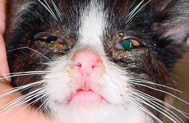 How to Treat Eye Discharge in Cat Naturally