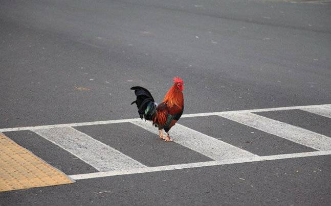 5 Reasons of Why Did Chicken Cross the Road?