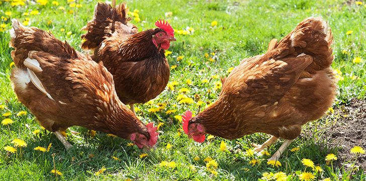 10 Amazing Facts of Chicken You Must Know