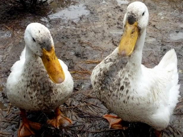 5 Ways to Reduce Bad Smell of Duck Area