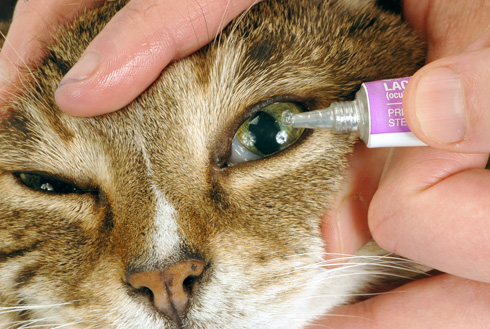 2 Benefit of Giving Eye Drops to Cat