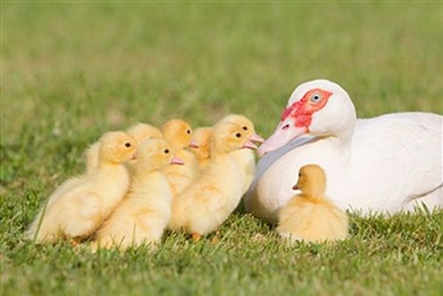 8 Things To Consider Before Keeping Duck As A Pet