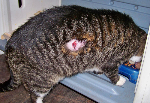 How to Kill Maggots in Adult Cat Naturally