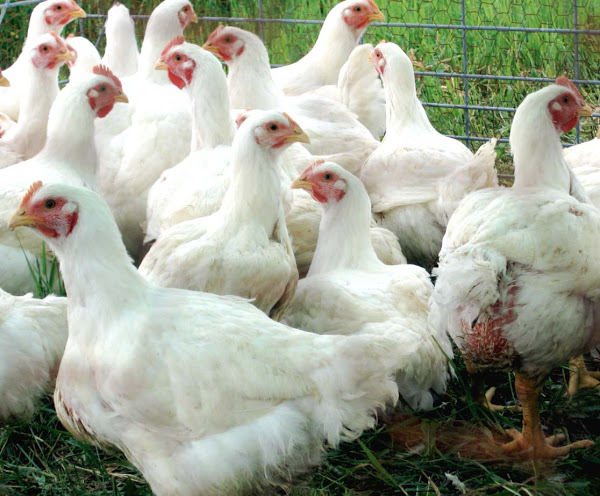 7 Ways to Raising Broiler Chickens Commercially