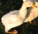 11 Common Duck Diseases That Every Farmer Should Know