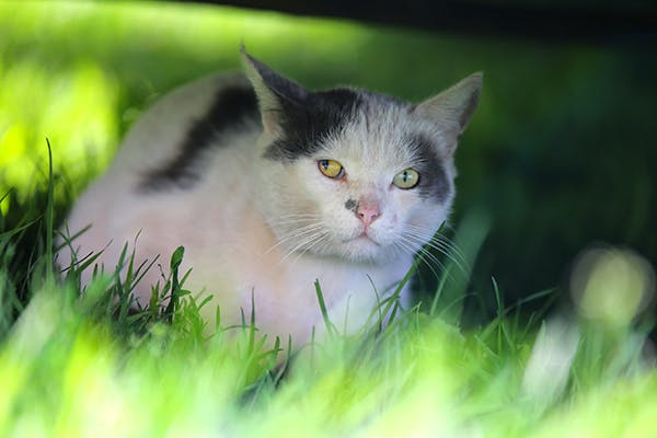 Toxoplasmosis in Cat : Symptoms, Causes, Treatment, Prevention