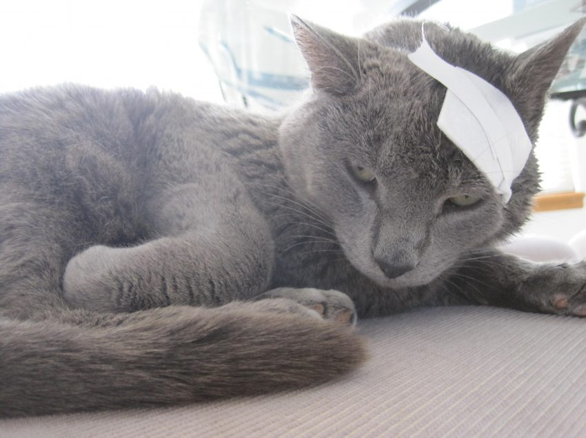 Home Remedies to Treat Cat Wounds