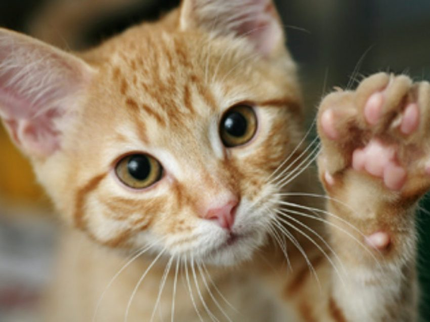 4 Medical Issues That Affect Cat's Paws