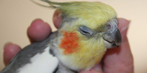 cockatiel-as-pet