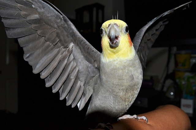 healthy-cockatiels