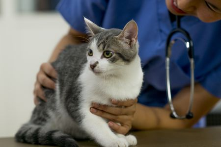 Pay Attention to Heart and Blood Vessel Disorders in Cats