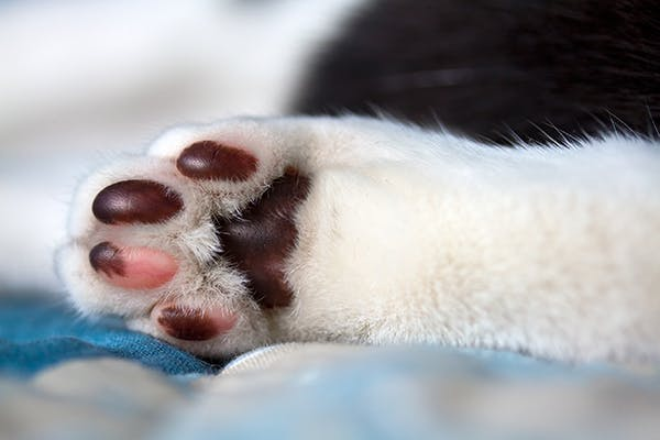 3 Signs of Skin Inflammation in Your Cat's Paws
