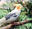 8 Things You Should Know Before Keep Cockatiels
