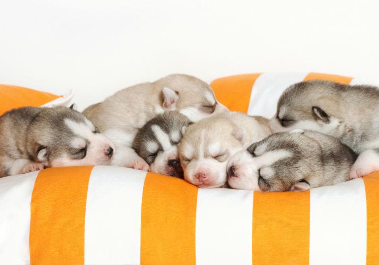newborn-puppy