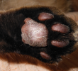 5 Natural Treatments for Plasma Cell Pododermatitis (Pillow Foot) In Cats