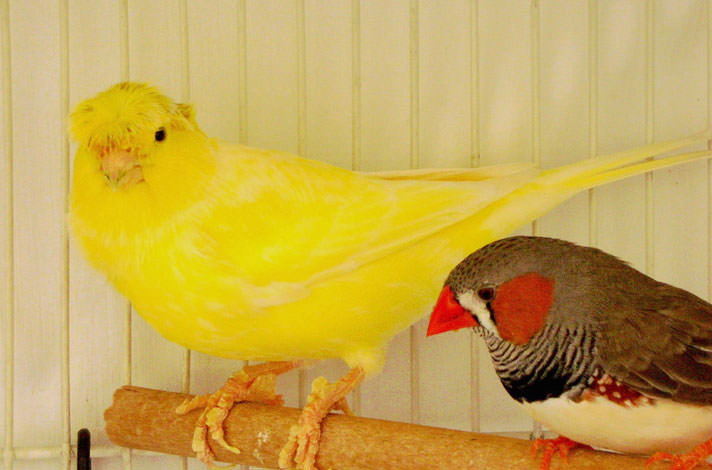4 Differences of Finches and Canaries