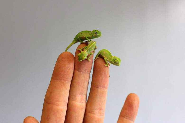 chameleon-babies