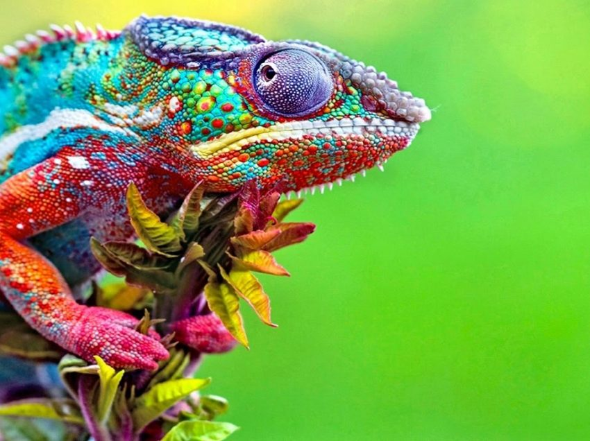 What is The Process of Chameleon Changing Color?
