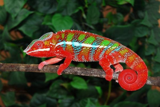 4 Reasons Chameleon Camouflage Themselves