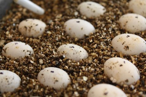 How to Incubate Chameleon Eggs