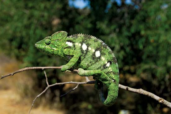 8 Facts of Chameleon You Should Know