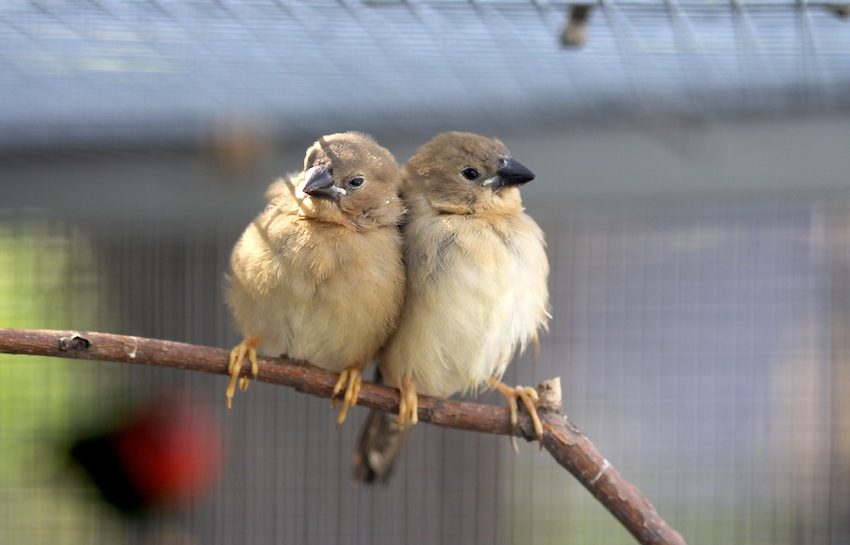 6 Disadvantages of Keeping Finch Bird as Pet