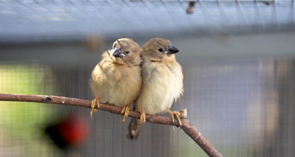 disadvantages-of-finch-bird
