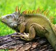 5 Disadvantage of Keeping Iguana As Pet