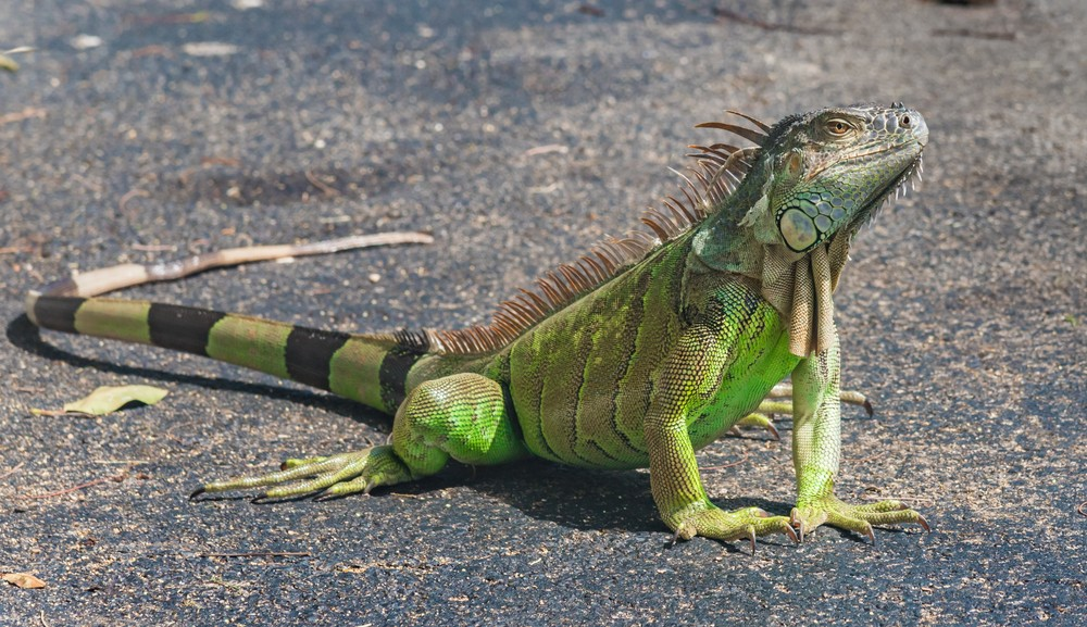 facts-of-iguana